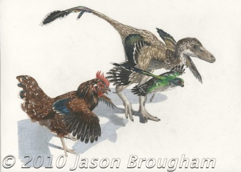 Three theropod dinosaurs: Gallus (the chicken) , Zhongornis, and Bambiraptor.
