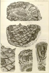 Excellent illustrations of bennettite trunks, showing the rhomboidal leaf scars, from Carruthers, 1870.