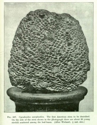 Cycadeoidea marylandica, Seward 1898.