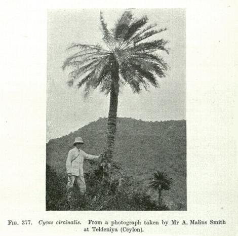 Cycas, a modern, tall, cycad. Lioxylon from Middle Jurassic China may have looked much the same.
