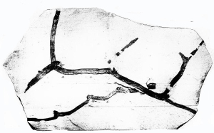 One of Nathorst's original fossils of Wielandiella, showing the dichasial branching.