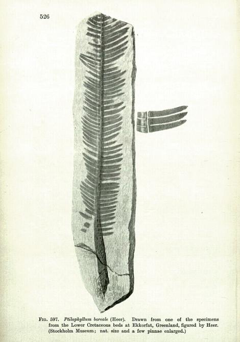 A Ptilophyllum - type leaf fossil.