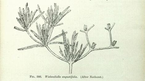 Wielandiella 2