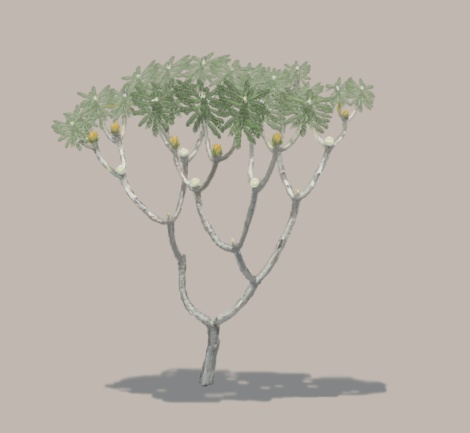 Bennettite Banksia sketch